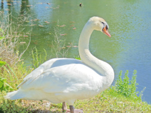 文洞ため池の白鳥画像