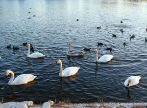 ため池に白鳥
