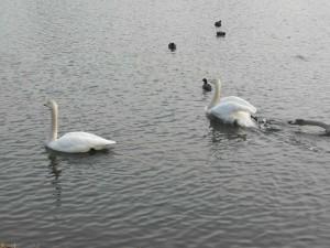 s-白鳥 (4)