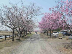 s-桜開花 (2)