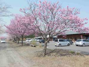 s-桜開花 (3)