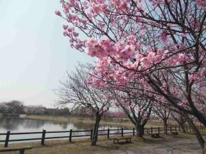 s-桜開花 (4)