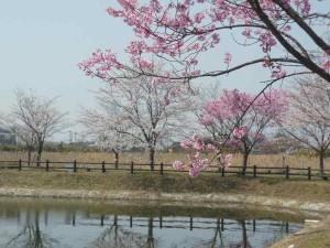 s-桜開花 (1)